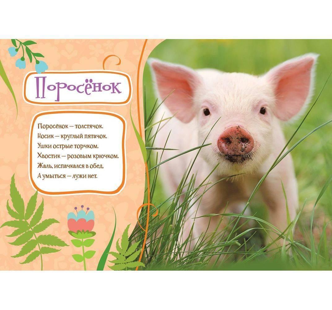 поздравления для свиней долго заживающие способны